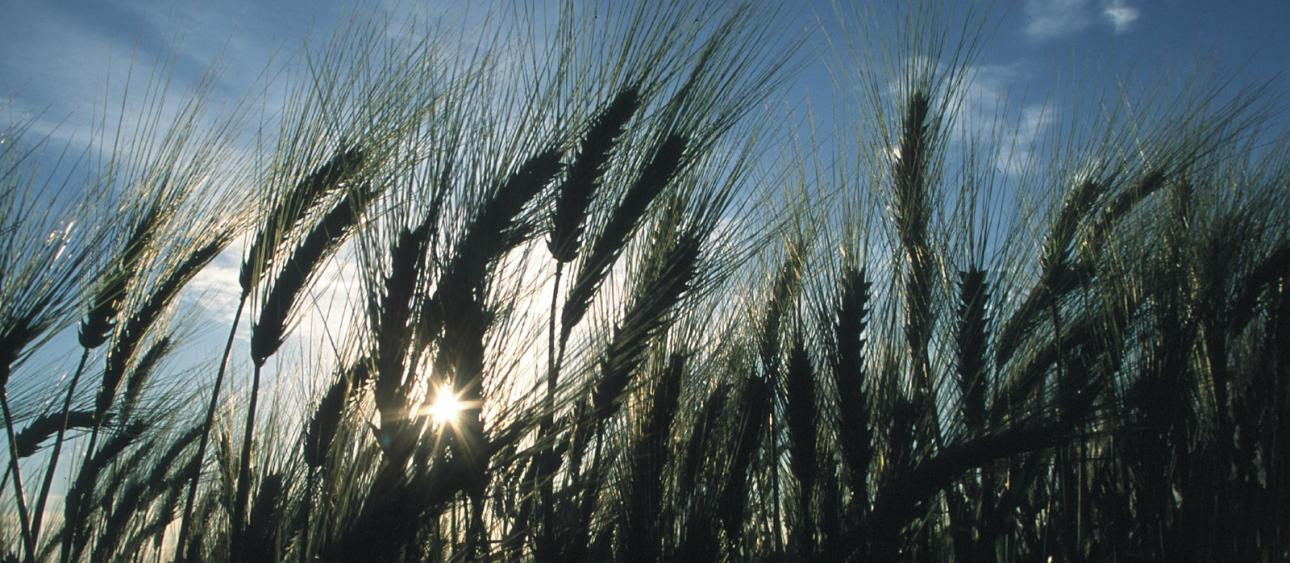Wheat and sunstar, Yuma, Arizona. Photo by Jeff Vanuga, USDA Natural Resources Conservation Service.
