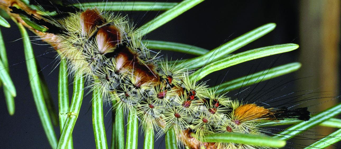 A Douglas-fir tussock moth larva. Image courtesy United States Forest Service.
